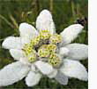 Edelweiss, as heard of in the Sound of Music